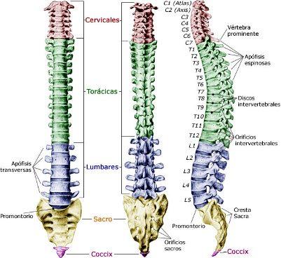 Columas vista frontal, posterior y sagital